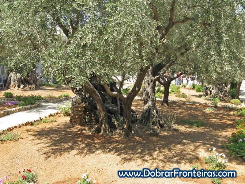 Oliveira milenar no jardim das oliveiras