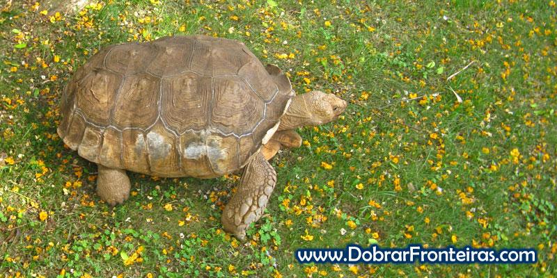Tartaruga passeia-se lentamente no jardim botânico do Funchal