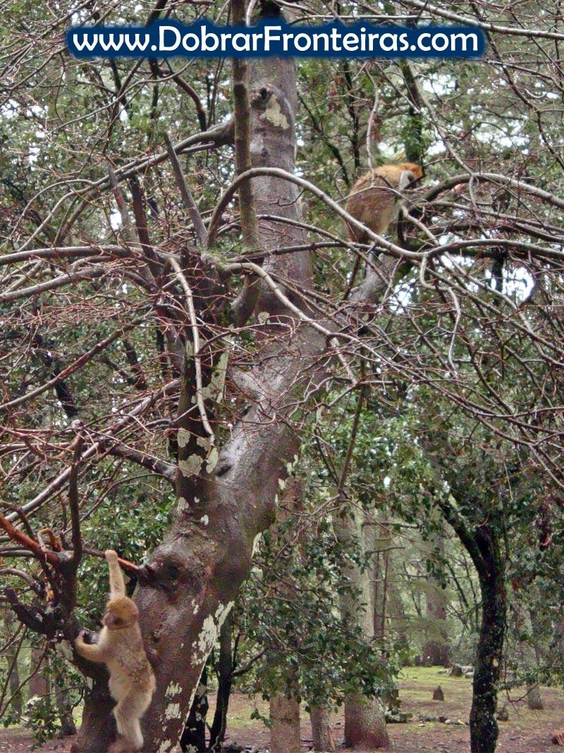 macacos marrocos