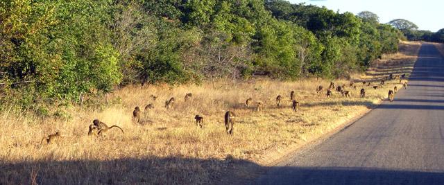 Babuínos na estrada para o Botswana