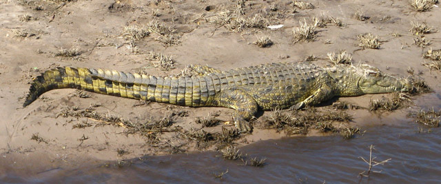Corcodilo, Parque de Chobe, Botswana