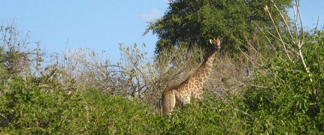 Girafa, Parque de Chobe, Botswana