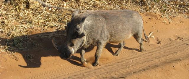 Facócero, Parque de Chobe, Botswana