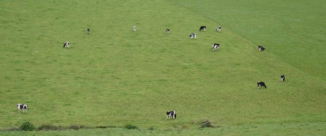 Campos de pastagem de vacas na Ilha de São Miguel