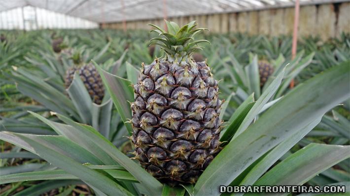 Ananás dos Açores na fase final de crescimento
