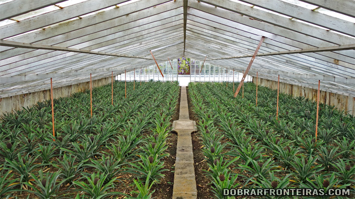 Plantações de ananás nos Açores