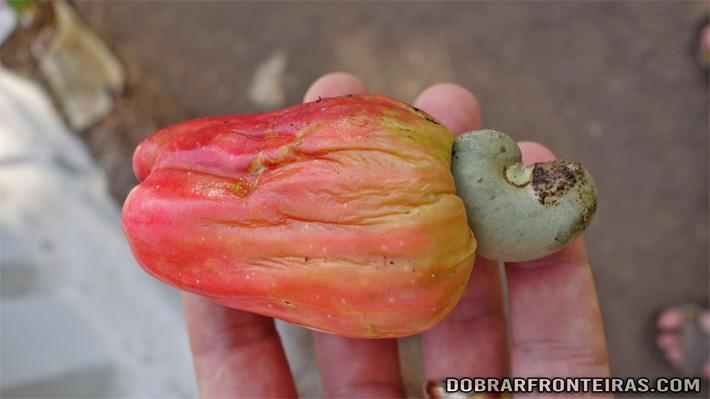 Fruta do caju, árvore muito abundante em Goa