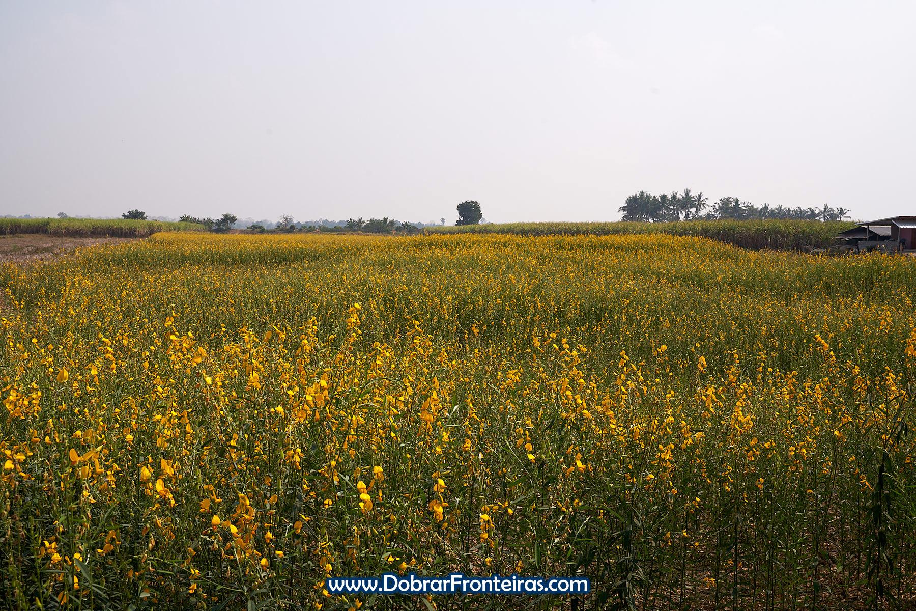 campo de flores amarelas de crotalaria na Tailandia