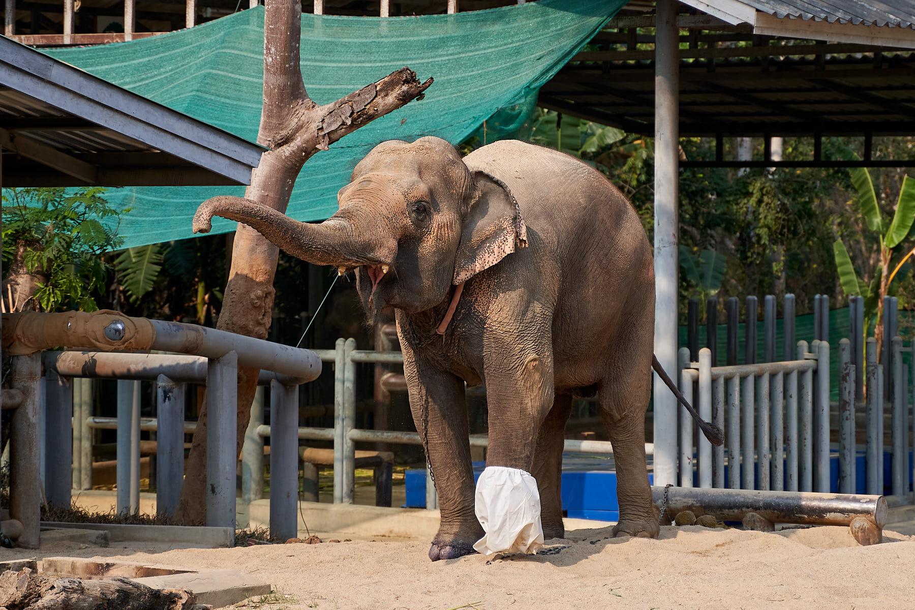 Motala, elefanta com pata dianteira amputada na Tailândia