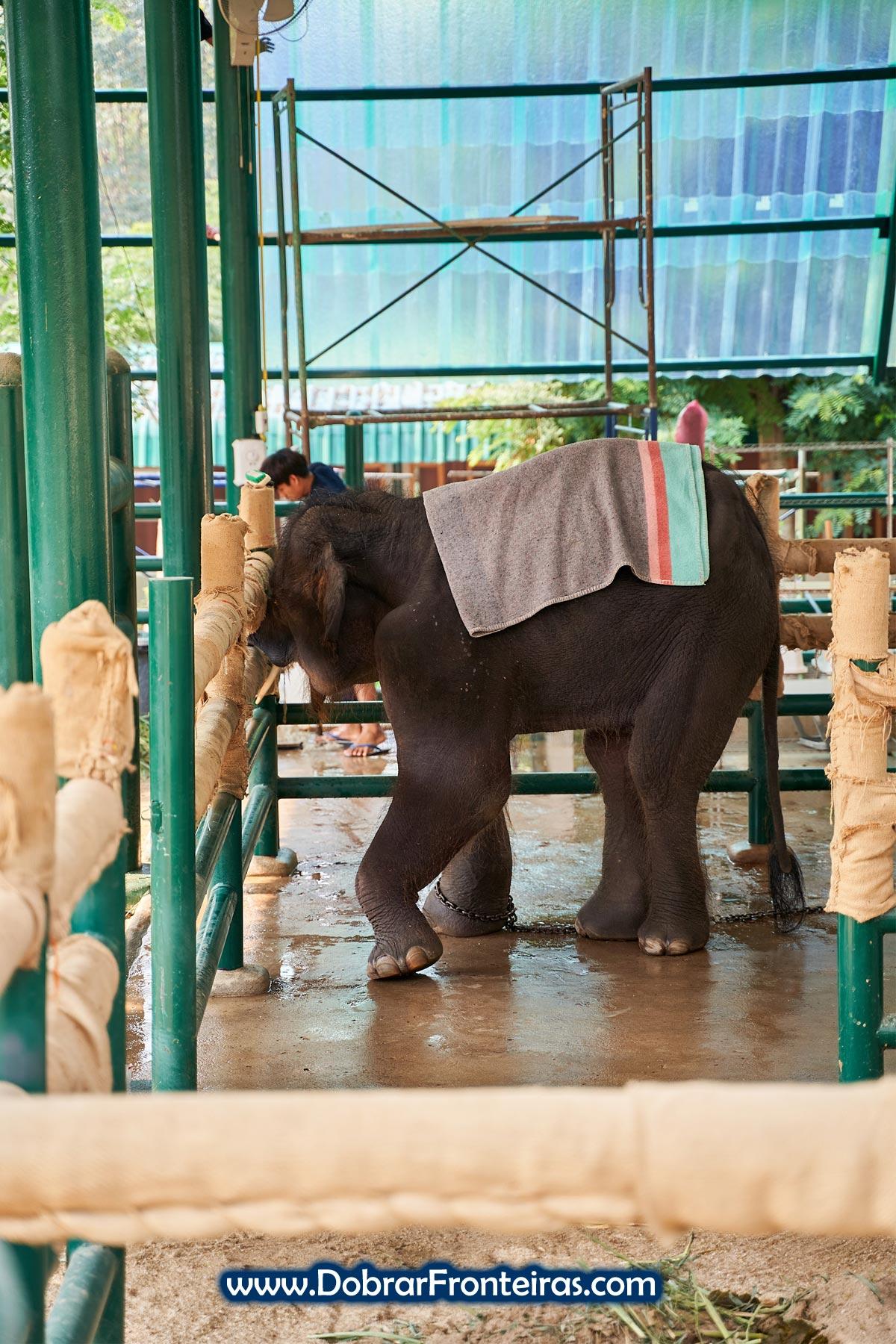 Elefante bebé com pata aleijada coberto com manta