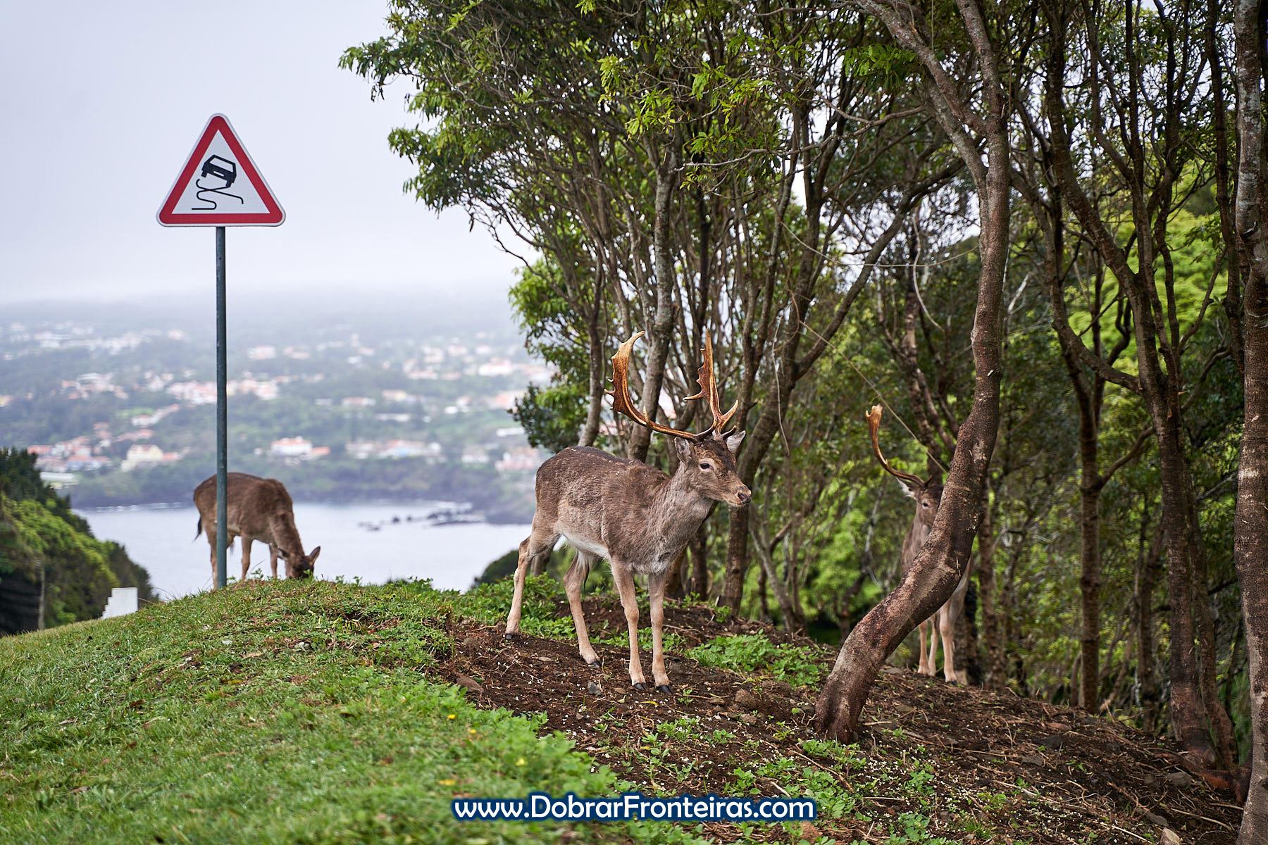 Gamos, veados, no Monte Brasil, Angra do Heroísmo