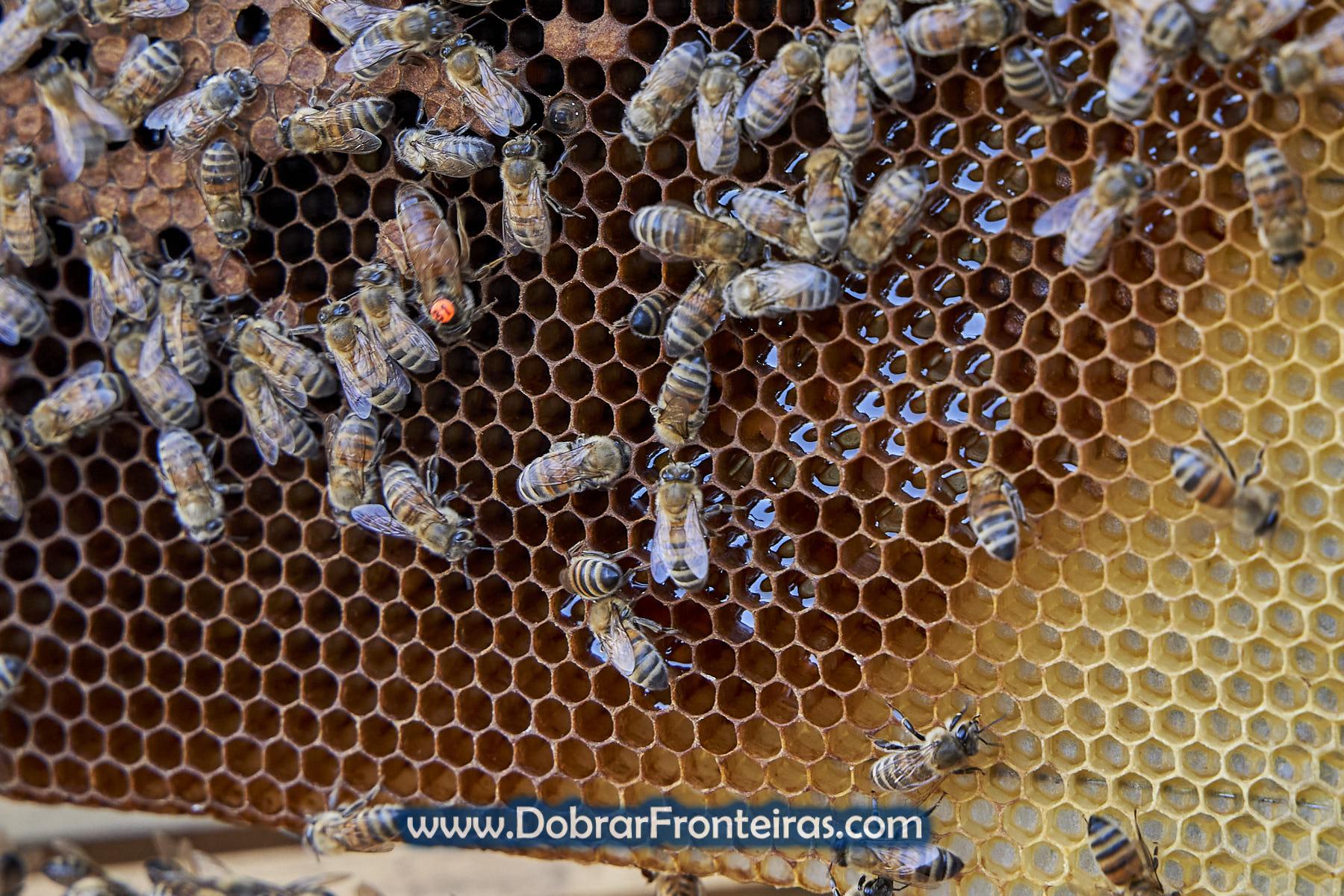 Favos de mel com abelhas e rainha Buckfast