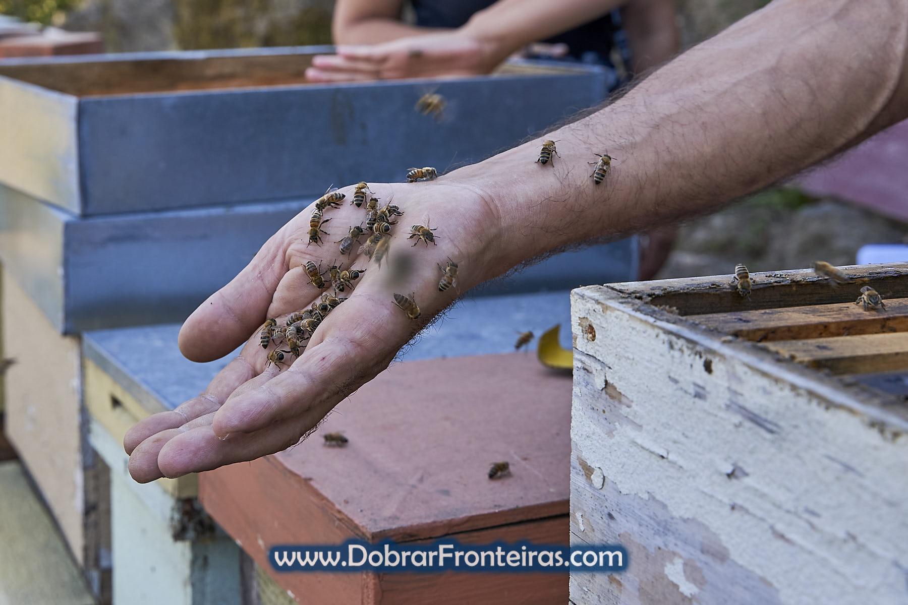 Mão com abelhas mansas de Buckfast em Melgaço