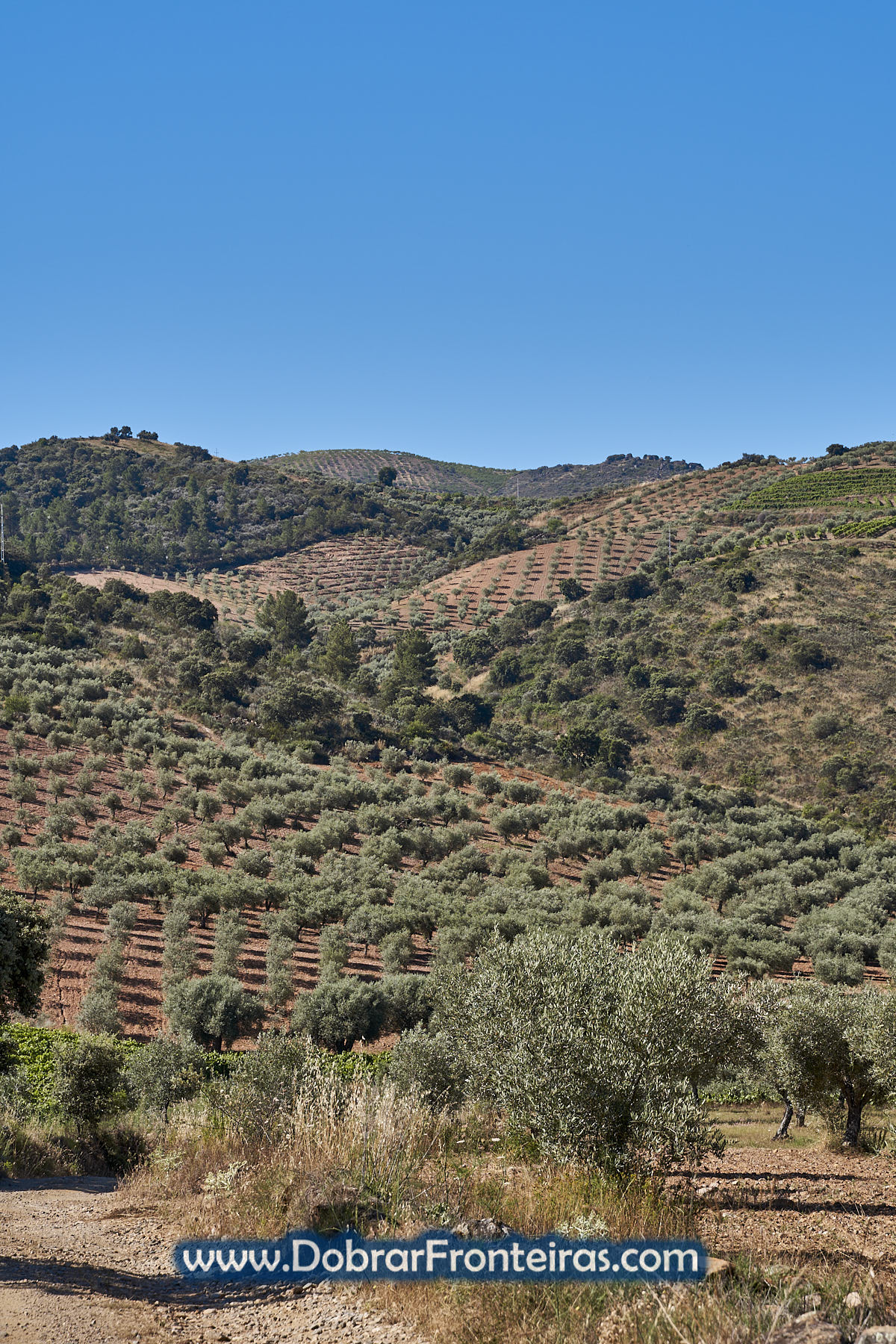 Paisagem agrícola com oliveiras e vinha